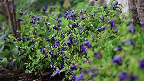 11 Manfaat Bunga Telang -6.jpg