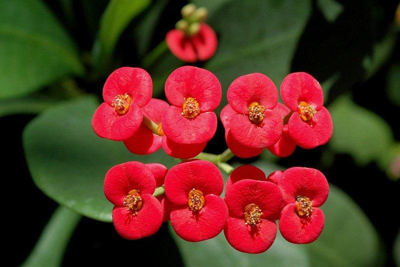 1200px euphorbia milii flowers