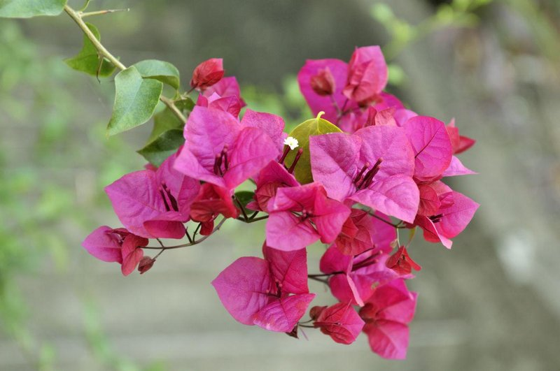 1280 182500799 pink bougainvillea blooms in the garden