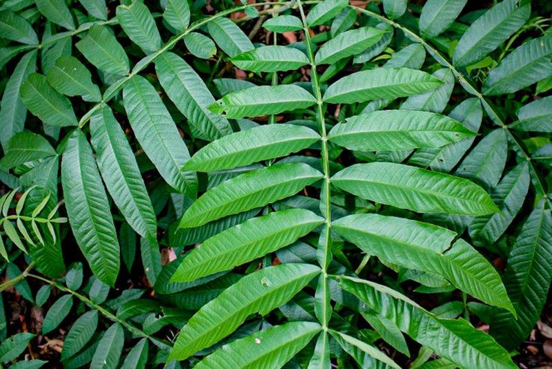 manfaat daun sungkai daun jati sabrang