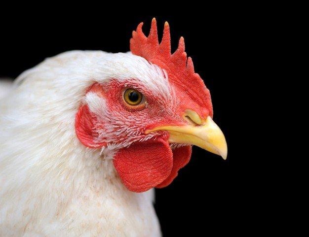 doa menyembelih ayam