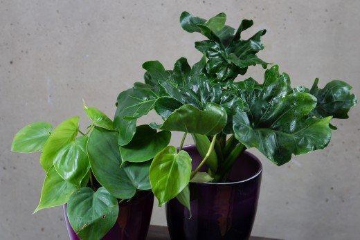 1 tanaman