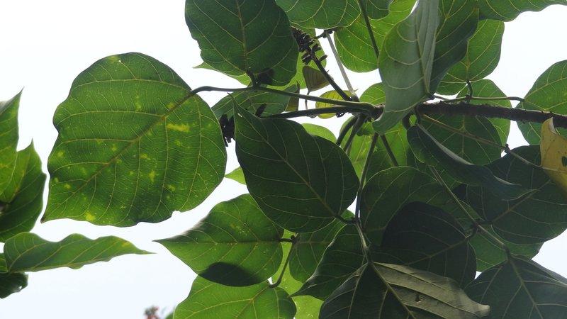 manfaat daun dadap serep sebagai antimikroba