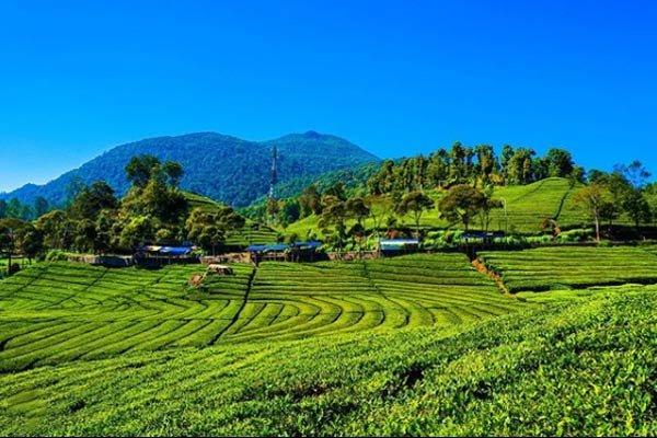 perkebunan teh malabar pengalengan