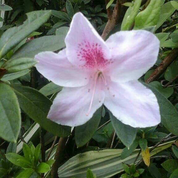 Jenis bunga azalea