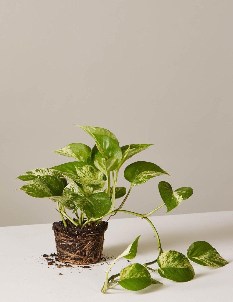 2 tanaman
