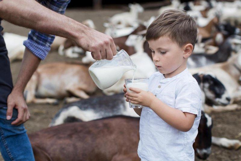 Susu kambing etawa mudah diolah