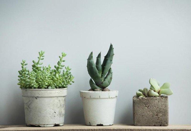 5 kaktus