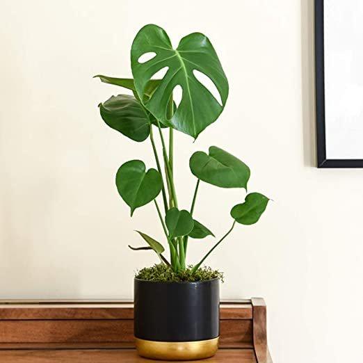 mengenal monstera atau janda bolong, tanaman dengan harga jutaan dan sedang tren