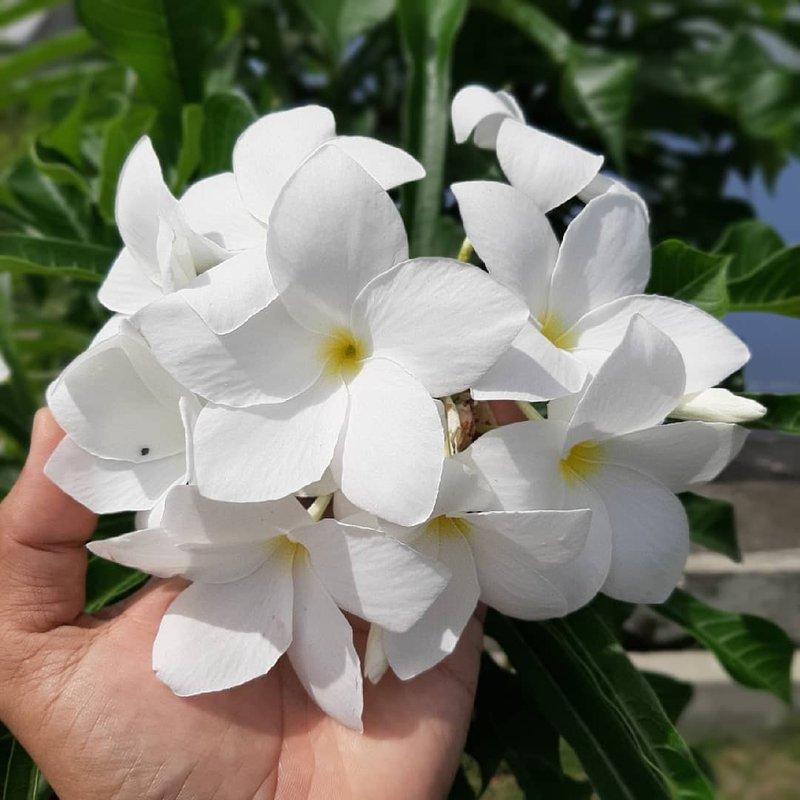 tanaman semak bunga pagoda