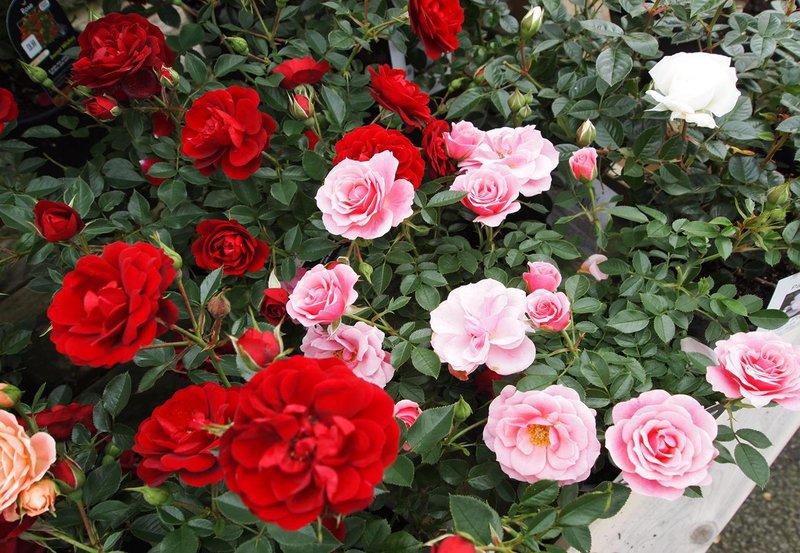 skincare dengan ekstrak bunga mawar
