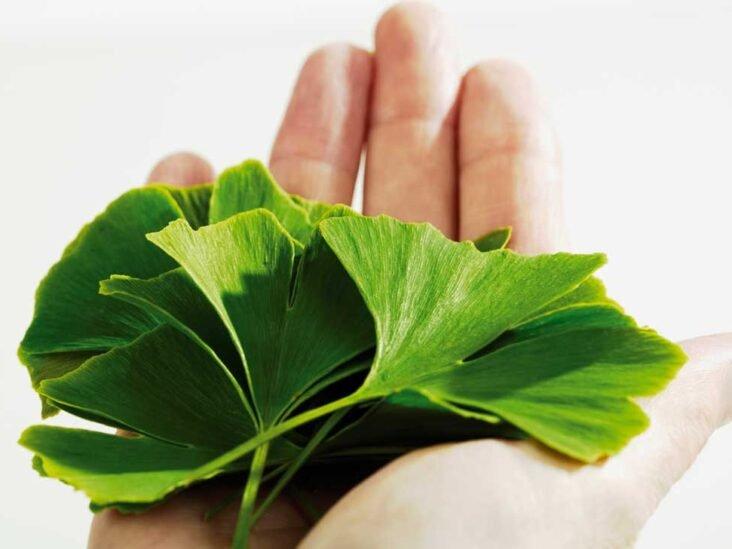 Gingko biloba merupakan salah satu obat kuat herbal