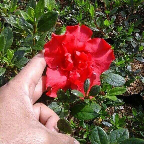 Arti warna bunga azalea