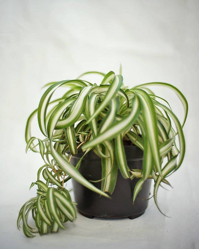 tanaman semak lili paris