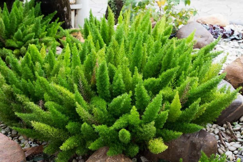tanaman paku asparagus