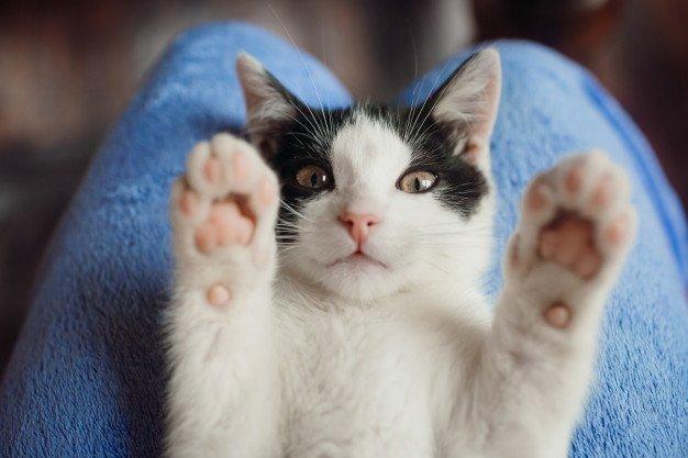 Kucing dapat memburu tokek