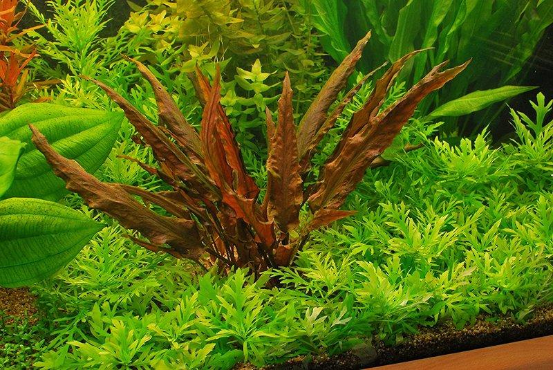 tanaman hias akuarium