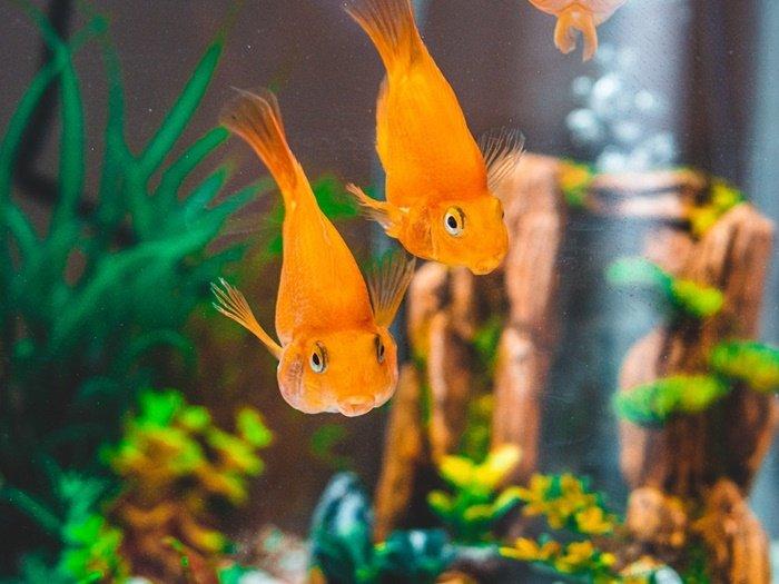 Bisnis Ikan Hias, Ide Bisnis Rumahan dengan Modal Kecil