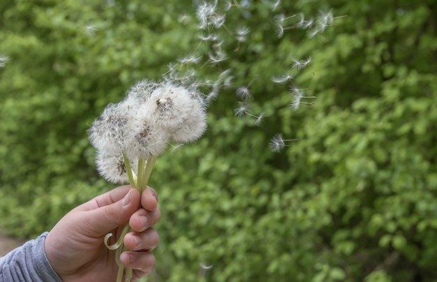 Apa Itu Bunga Dandelion.jpg