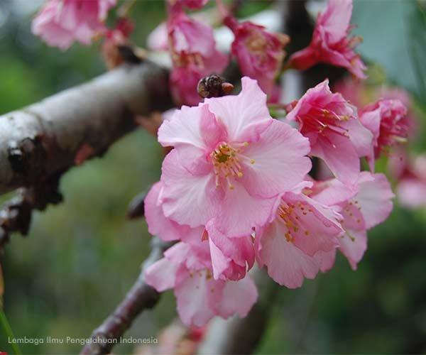 Taman Bunga Sakura Cibodas.jpeg