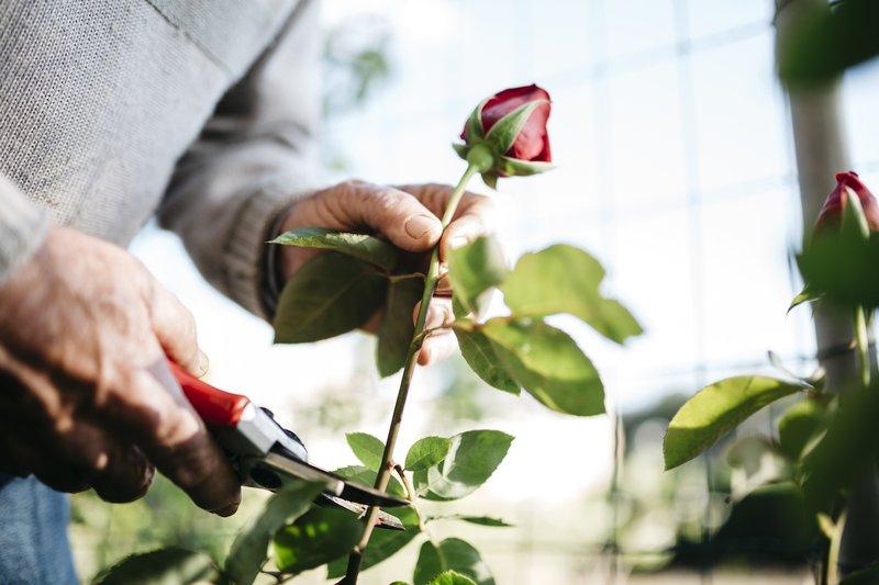 Begini Cara Menanam Bunga Mawar untuk Mempercantik Pekarangan Rumah - 2