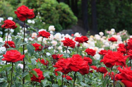 Begini Cara Menanam Bunga Mawar untuk Mempercantik Pekarangan Rumah - 1
