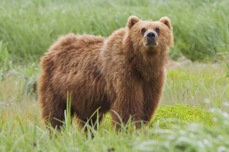 Beruang Kodiak yang Menjadi Hewan Terbesar di Dunia