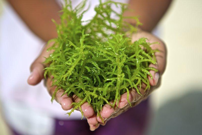 Bolehkah Bayi 6-12 Bulan Makan Rumput Laut? 3