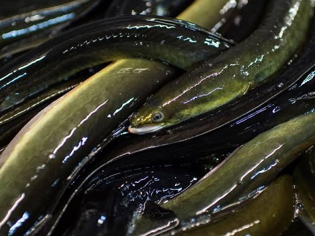 Bolehkah Bayi Makan Ikan Air Tawar Belut 1.jpg