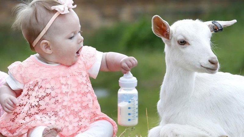 Bolehkah Memberikan Susu Kambing untuk Bayi Sebagai Pengganti Sufor 01.jpg