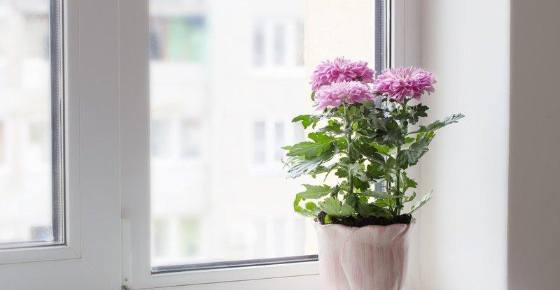Bunga Krysan - Tanaman Hias dalam Ruangan.jpg