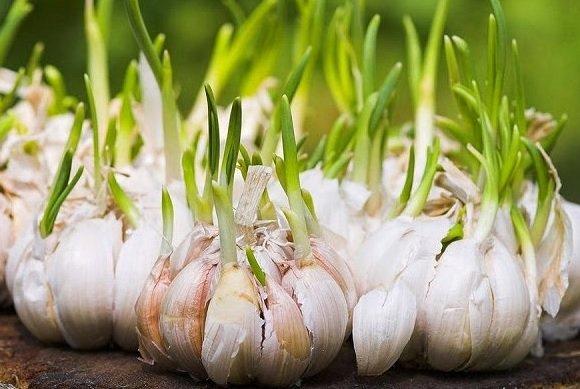 Tips Merawat Tanaman Bawang Putih
