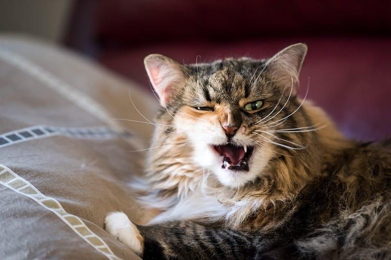 Gejala Sariawan pada Kucing.jpg