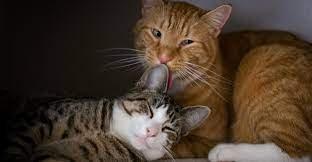 Cara Mengawinkan Kucing Sehat.jpg