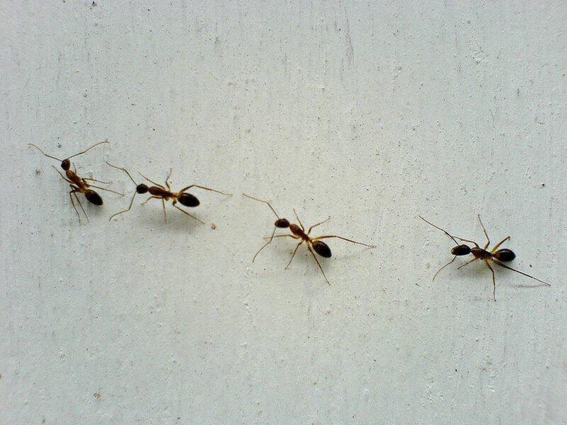 Cara Mengusir Semut Secara Alami