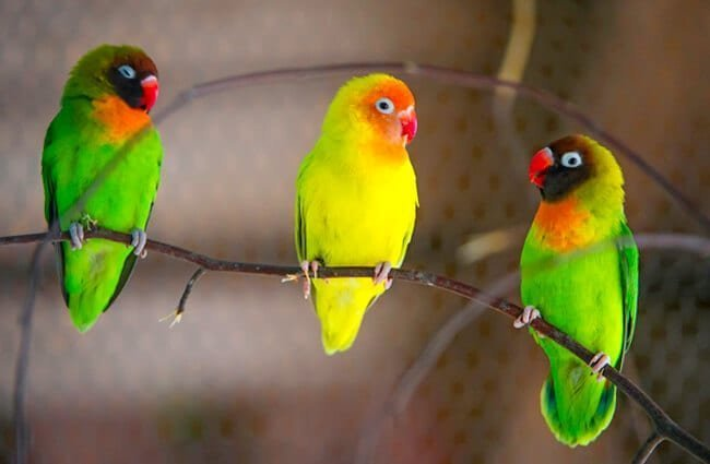 Cara Merawat Burung Lovebird - 1