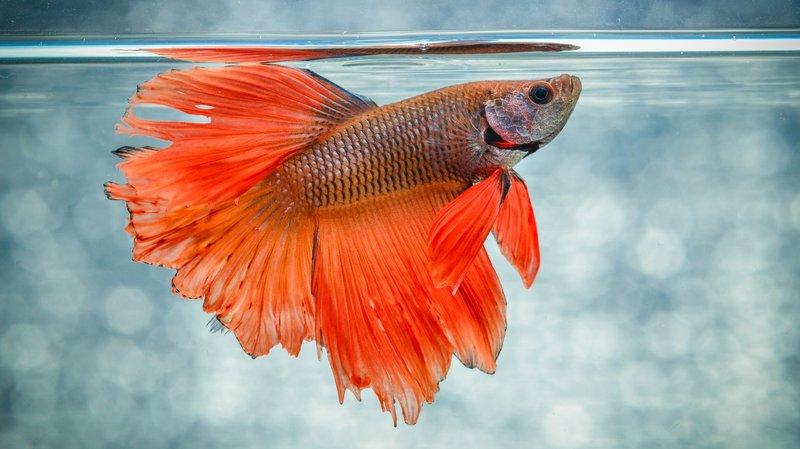 Cara Merawat Ikan Cupang - 2