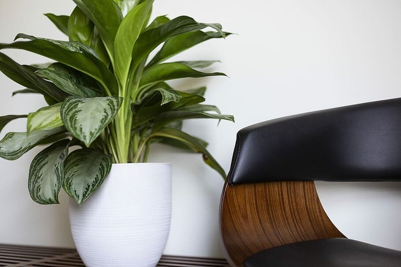 Chinese Evergreen Plants.jpg