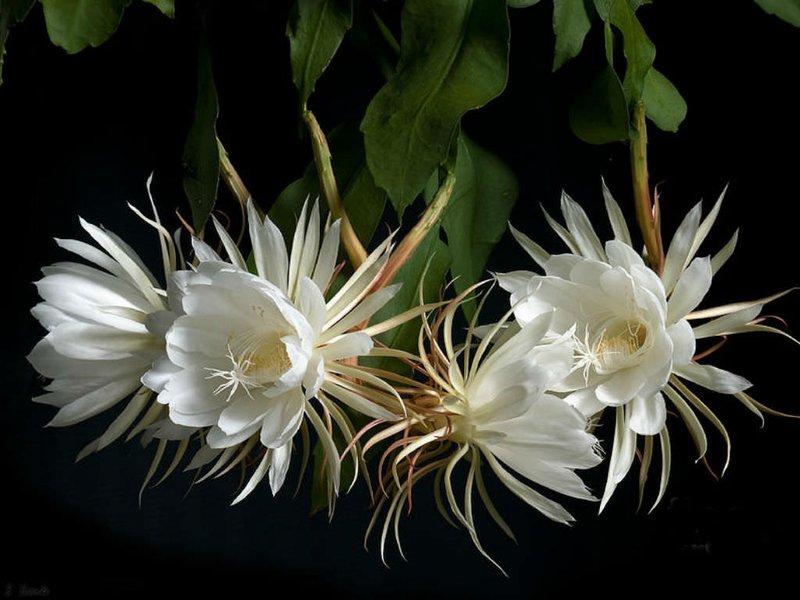 Bunga wijaya kusuma dapat membantu mengatasi jerawat