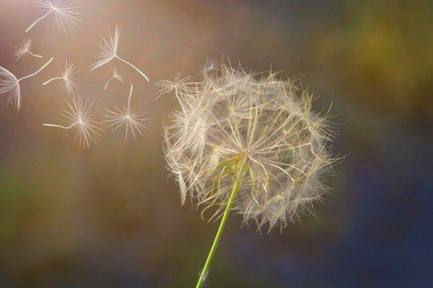 Fakta Menarik Bunga Dandelion.jpg