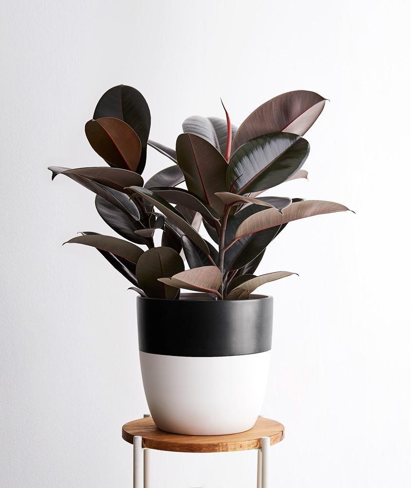 Ficus Tanaman Hias Beracun.jpg