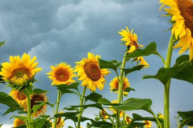 Cara Menanam Bunga Matahari-2.jpg