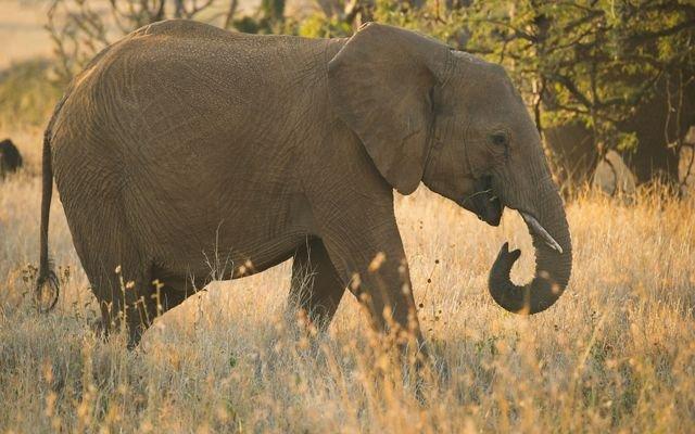 Gajah Semak Afrika yang Menjadi Hewan Terbesar di Dunia