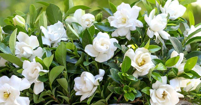 How_To_Maximize_Gardenia_Blooms_1200x630.jpg