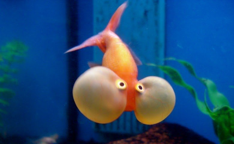 Ikan-Mas-Koki-Bubble-Eye.jpg