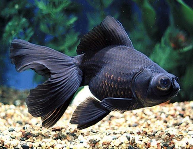 Ikan Mas Koki Black Moor.jpeg