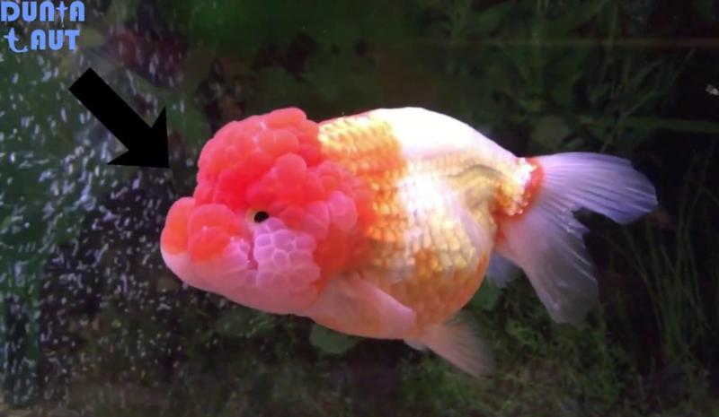 Ikan Mas Koki LionHead.png
