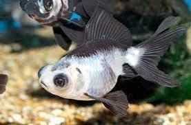 Ikan Mas Koki Panda.jpg