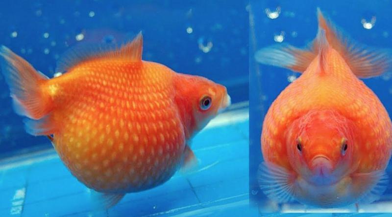 Ikan Mas Mutiara.png