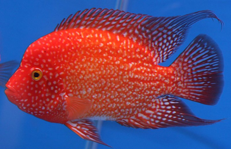 Jenis Ikan Louhan Golden Base.jpg